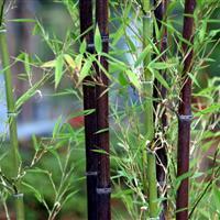 竹子报价:金镶玉竹、阔叶箬竹、刚竹、紫竹、早园竹、毛竹、石竹