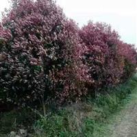 红叶石楠快乐赛车开奖:胸径6-15红叶石楠树,红叶石楠球,红叶石楠柱