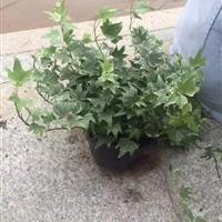 福建供应高度20-50公分的常春藤,花叶常春藤