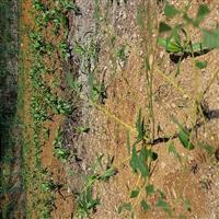 红油香椿苗基地