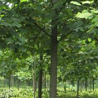 行道树报价:深山含笑、椤木石楠、国槐、紫叶李、大叶女贞、榉树