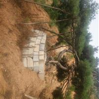 供应米径10-40Cm造型油松,数量大,适合您的不同需要。