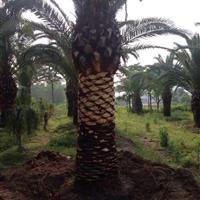 福建漳州棕榈科研究基地 专业种植加拿利海枣