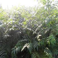 香椿苗保护地栽培