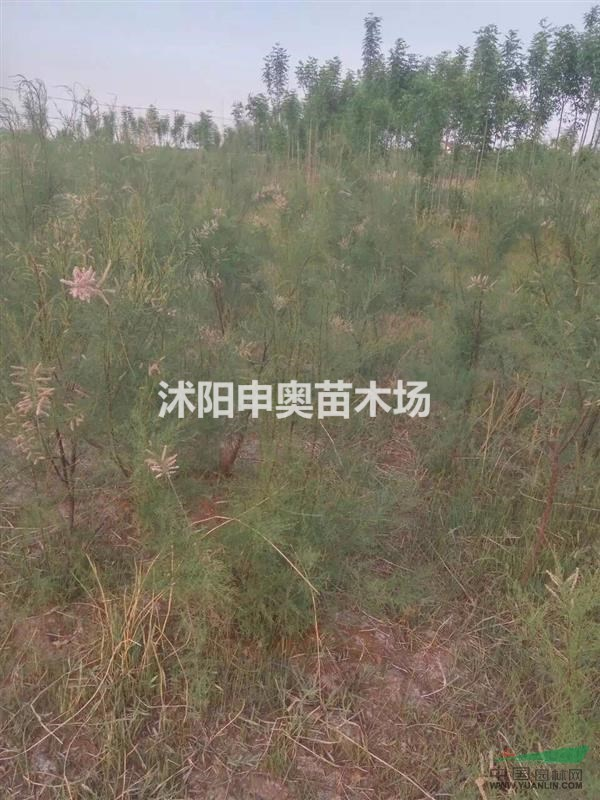 供应江苏地区荆条小苗200万棵