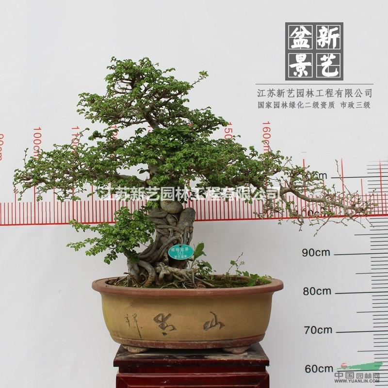 精品造型榆树盆景062树桩造型盆景室内外造型盆景