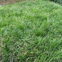 麦冬草,湖南麦冬草,麦冬草批发,麦冬草市场价格