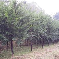 湖南红豆杉,红豆杉小苗,红豆杉批发,红豆杉产地