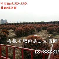 安徽红叶石楠树肥西红叶石楠树基地,最低价格供应商