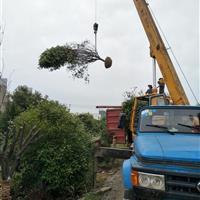 安徽精品红叶石楠树、肥西大型红叶石楠树基地、肥西最低价格供应