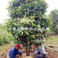 安徽精品中华石楠球、土石楠树、肥西最大基地供应商、