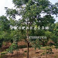 安徽精品大规格栾树18-20公分专供、低价供应商