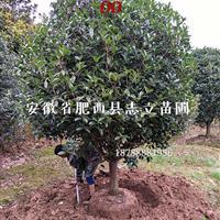精品桂花基地、肥西大型桂花供应商、大桂花专供规格齐全、