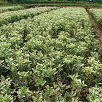湖南绿化苗木,园林苗木,黄杨工程小苗,绿化小苗,瓜子黄杨
