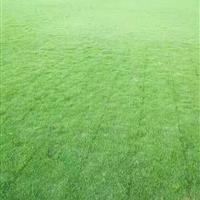 安徽马尼拉草坪种植基地,马尼拉大量低价供应