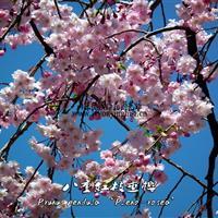 八重枝垂樱丨日本垂枝樱花丨美国垂枝樱丨山东樱花品种找绿友