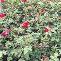大花蔷薇基地