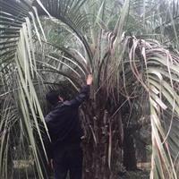 福建供应高度200-700公分的布迪椰子,布迪椰子新报价