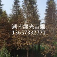 水杉,湖南水杉,水杉基地,水杉产地,水杉供应商,水杉之乡
