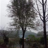 安徽供应榆树(白榆)