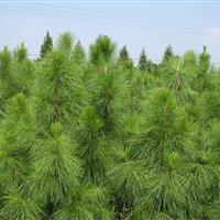 湿地松报价:高3-8米湿地松价格、美国松湿地松树、湿地松售价