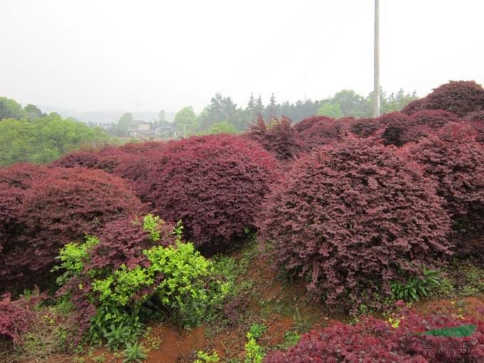 潢川红花继木报价:冠径1-3米红花继木球价格,造型红花继木桩