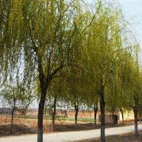 金丝垂柳售价:胸径8-30公分垂柳价格、金丝柳价格、速生柳树