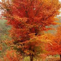 鸡爪槭售价:胸径6-15公分鸡爪槭价格、丛生茶条槭金叶复叶槭