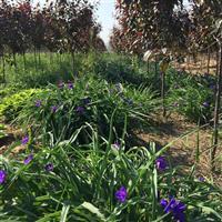 紫露草基地紫露草