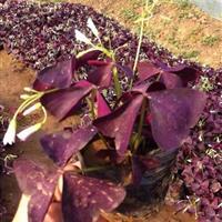 紫叶酢浆草基地   紫叶酢浆草