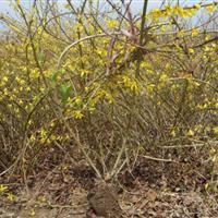 供应黄老虎连翘黄金条一串金等各种绿化工程用苗绿化苗木规格齐全