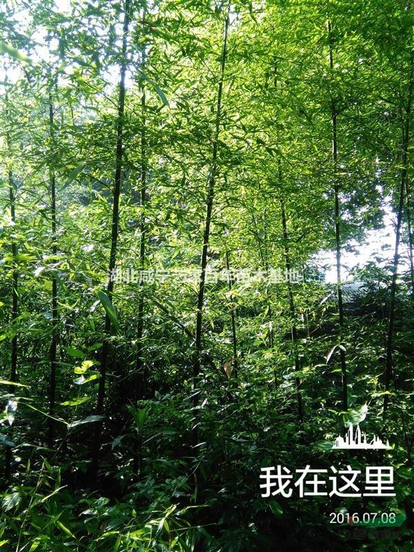 湖北艺家百年苗木基地供应1.5-5公分刚竹,雷竹,丛竹