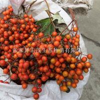 生物质能源山桐子种子供应张家界地区