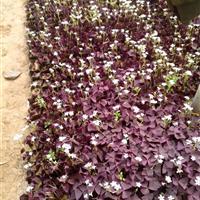 紫叶酢浆草价格  营养钵紫叶酢浆草