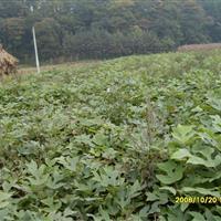 马褂木种、种子质量保证,马褂木郁金香