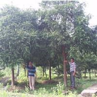 江苏红豆杉大树出售