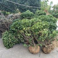 安徽大叶黄杨球供应、肥西大叶黄杨球基地、大叶黄苗木价格表