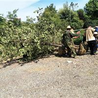 安徽椤木石楠树、肥西椤木石楠基地、供应椤木石楠苗木价格表