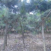 黑松基地,黑松树苗1-15公分批发
