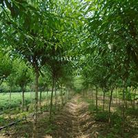 果树基地 ,  桃树批发直销