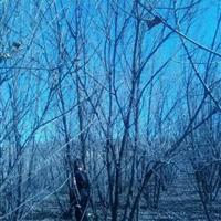 山西叢生五角楓價格·3米4米5米叢生五角楓價格信息