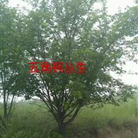 5米叢生五角楓5米叢生五角楓圖片·5米叢生五角楓價格詳情供應