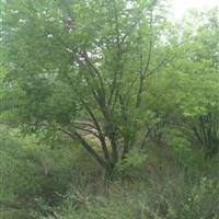 五角楓5分枝價格·高度5米冠幅5米5個頭五角楓價格產地供應