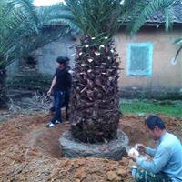加拿利海枣刺葵―地苗袋苗假植苗―杆高1-5米―清场出售