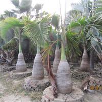 酒瓶椰子—地苗袋苗假植苗—杆高0.1-2米—清场出售