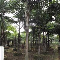 董棕鱼尾葵—地苗袋苗假植苗—高1-8米—清场出售