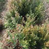 处理南方红豆杉小苗10-20-30-50-100公分高