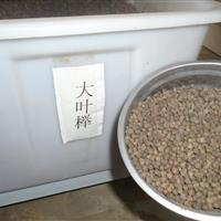 大叶榉种子批发, 红豆杉种子批发,白娟梅种子批发
