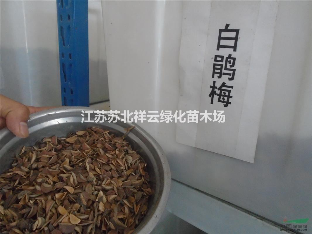 大叶榉  红豆杉  白娟梅种子批发