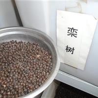 栾树种子价格,北京栾种子价格,国槐种子价格